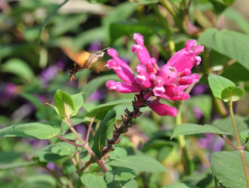 Japanese hummingbird moth